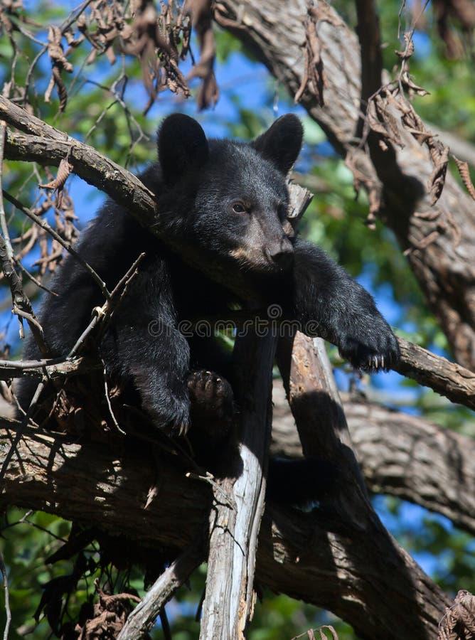 Черный медведь Cub стоковое изображение