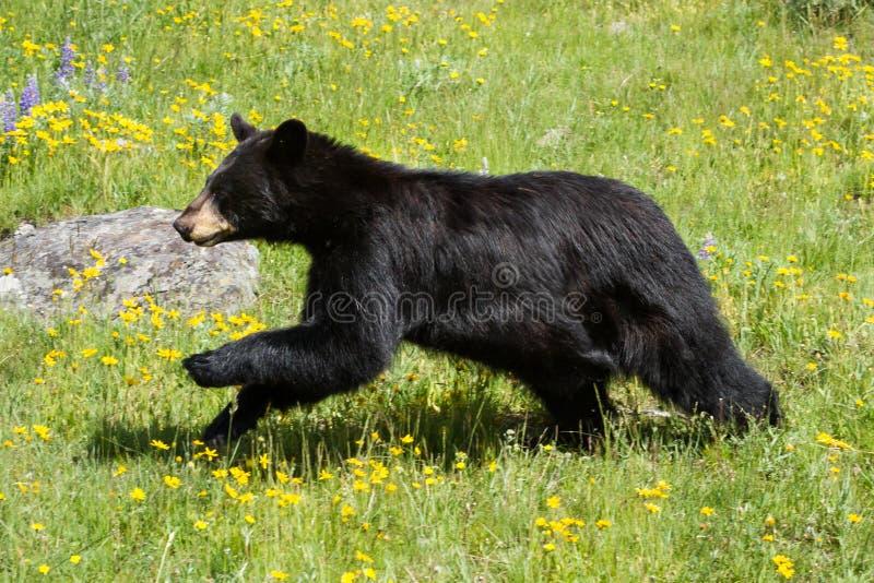 Черный медведь бежать через поле зеленой травы и желтого wildf стоковое фото rf