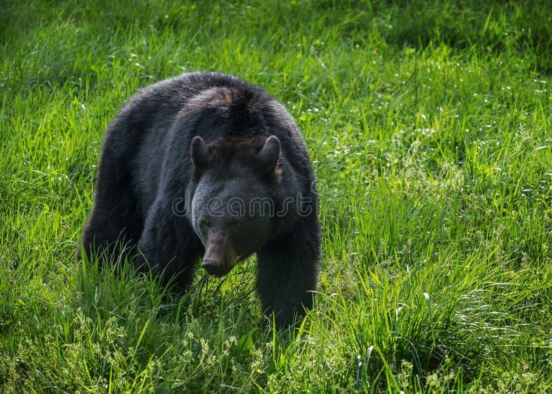 Черный медведь, бухта Cades, большие закоптелые горы стоковое фото rf