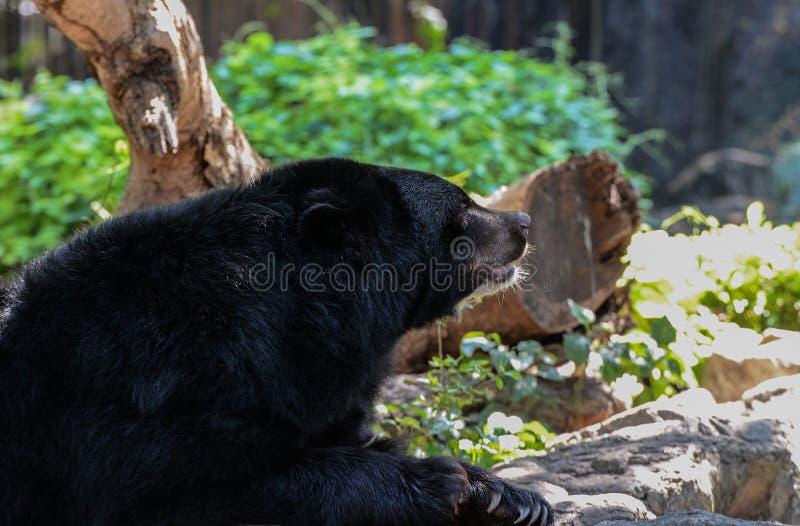 Черный медведь ослабляет стоковое изображение rf