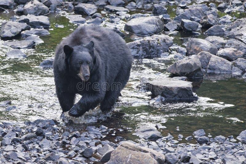 Черный медведь пока пересекающ реку стоковая фотография rf