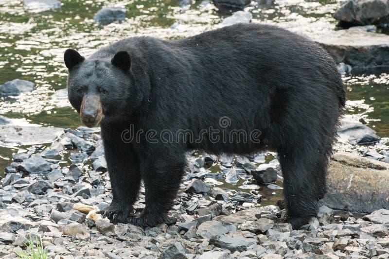 Черный медведь пока пересекающ реку стоковые фотографии rf