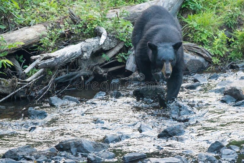 Черный медведь пока пересекающ реку стоковая фотография