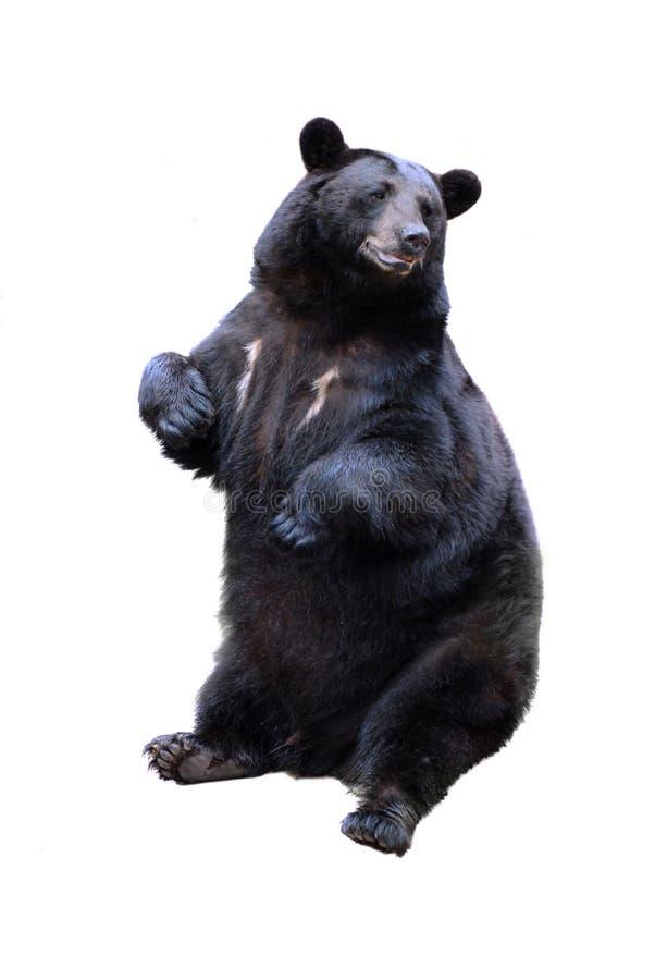 Черный медведь стоковое фото rf