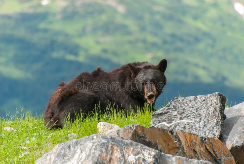 Черный медведь стоковое изображение rf