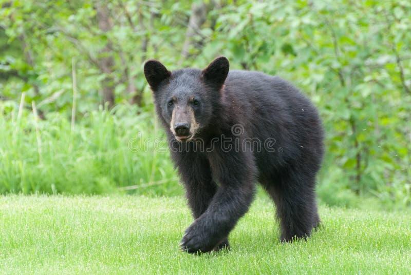 Черный медведь Cub стоковая фотография rf