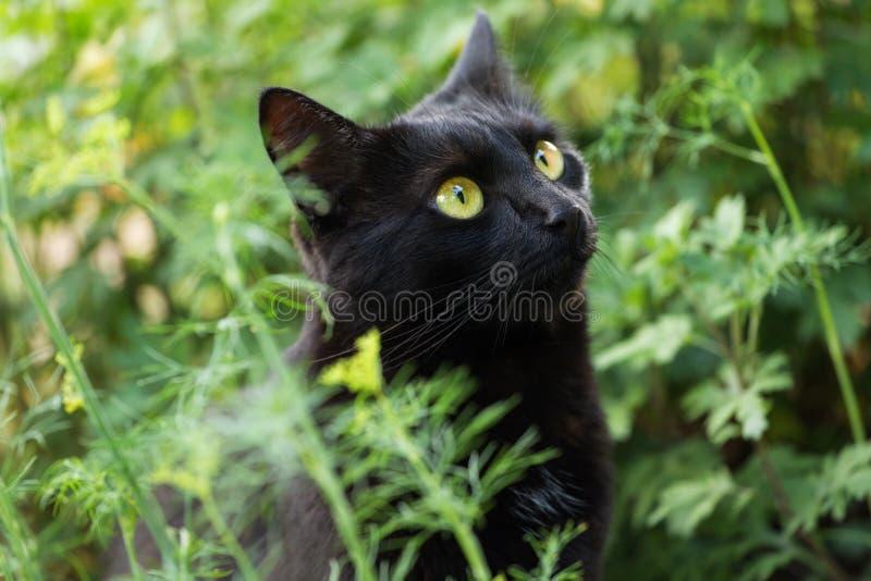 Черный милый конец портрета кота bombay вверх, макрос стоковое изображение rf