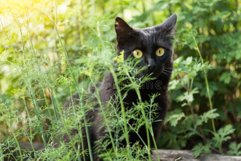 Черный милый портрет кота bombay с большими желтыми глазами и взглядом проницательности стоковое фото rf
