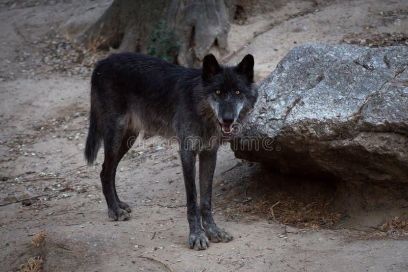 Черный мужчина artic волка стоковые фотографии rf