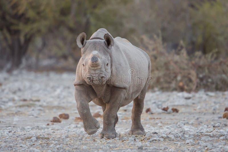 Черный носорог при рожок, который извлекли для того чтобы предотвратить красть стоковая фотография