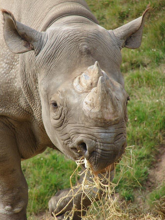 Черный носорог Стоковое Изображение