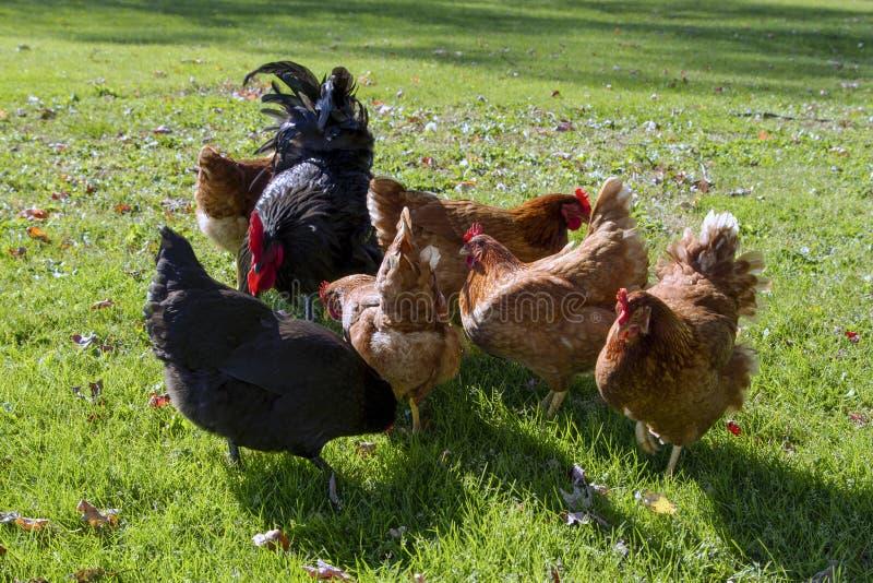Черный петух и пук еды куриц стоковое изображение