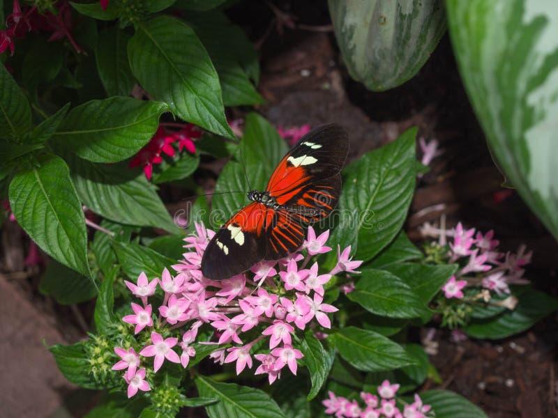 черный помеец бабочки стоковые фотографии rf
