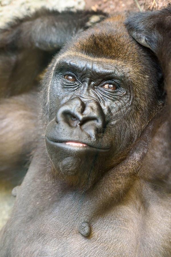 Черный портрет гориллы стоковые фотографии rf