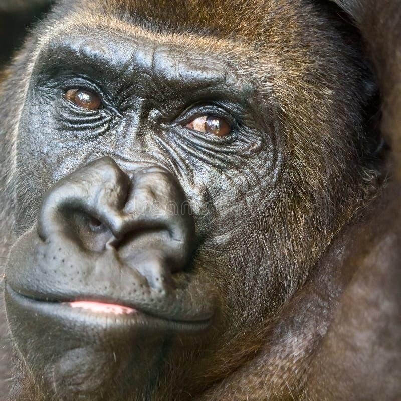 Черный портрет гориллы стоковые фото