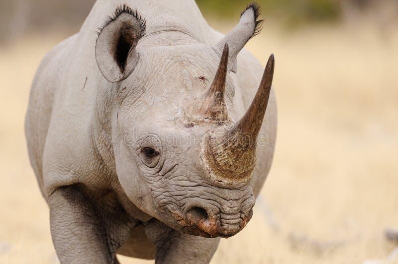 Черный портрет головы носорога, nationalpark etosha, Намибия стоковое фото rf