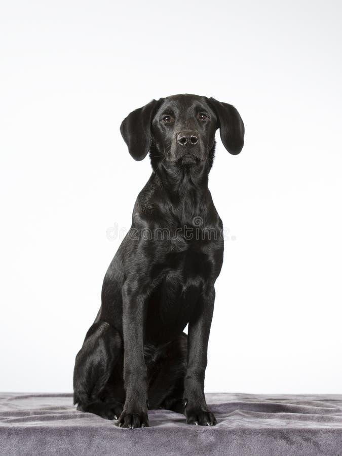 Черный портрет собаки щенка labrador стоковые изображения rf