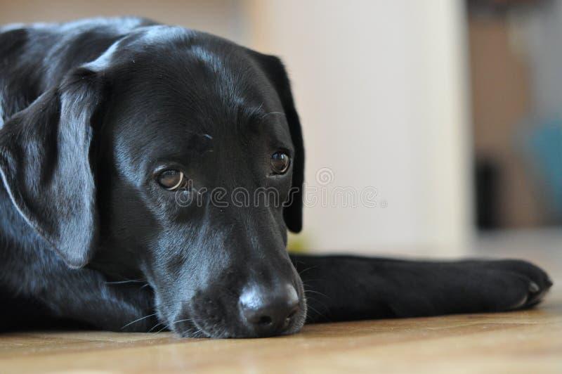 Черный представлять labrador стоковые фото
