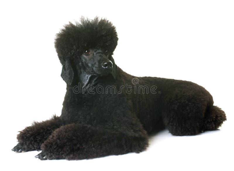 Черный пудель карлика стоковое фото