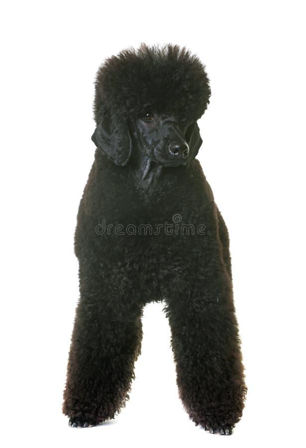 Черный пудель карлика стоковые фото