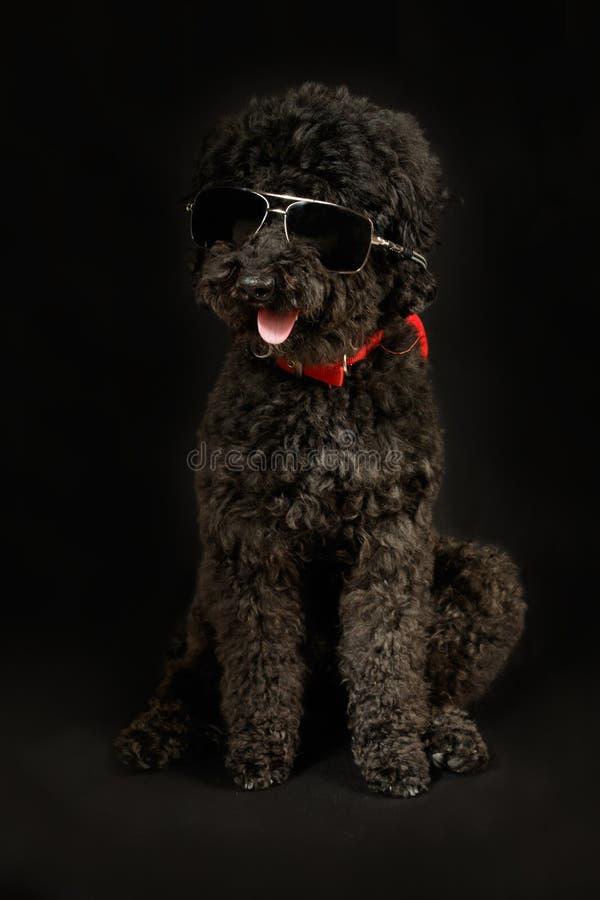 Черный пудель с солнечными очками стоковое фото