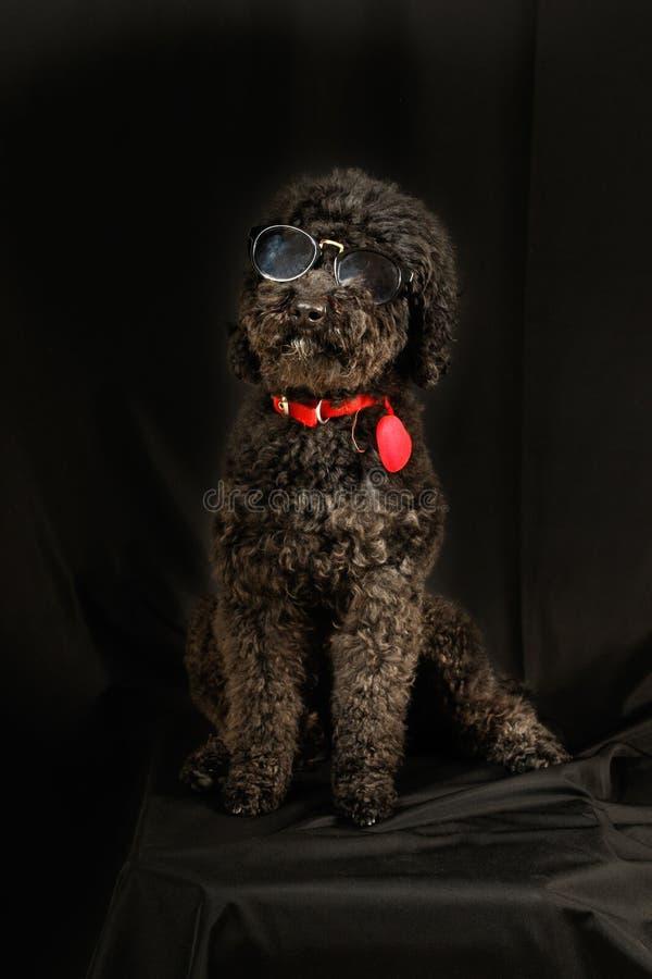 Черный пудель с солнечными очками стоковое изображение