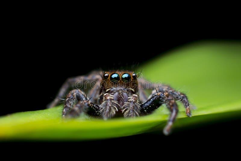 Черный скача паук на зеленых лист стоковая фотография