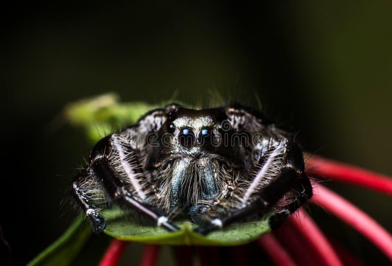 Черный скача паук Hyllus на зеленых лист, поднимающее вверх крайности близкое стоковая фотография rf
