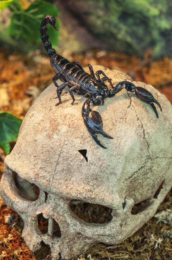 Черный скорпион на черепе стоковая фотография rf