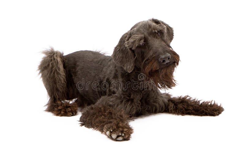 черный собаки schnauzer вниз гигантский кладя стоковое изображение