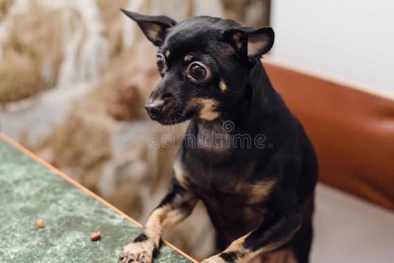 Черный терьер игрушки породы маленькой собаки сидит на таблицах стоковое фото