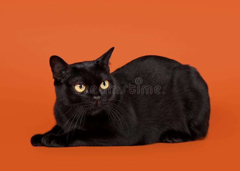 Черный традиционный кот bombay стоковые изображения rf