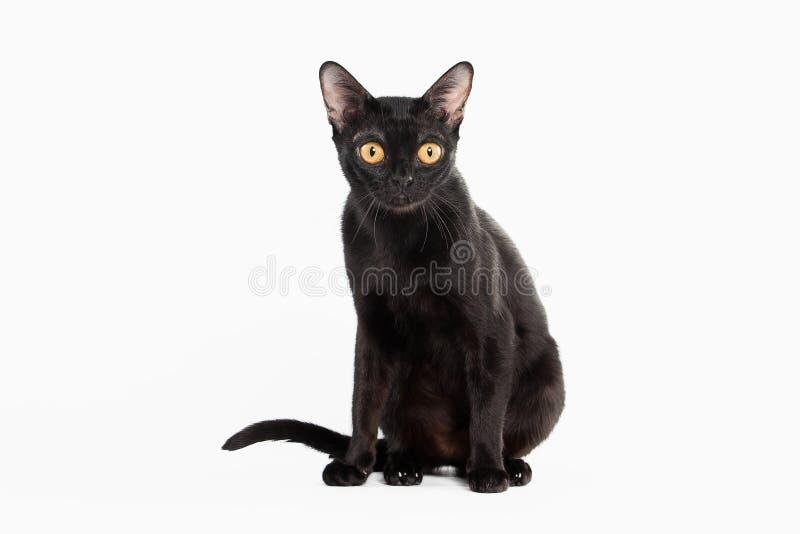 Черный традиционный кот bombay на белизне стоковое фото rf