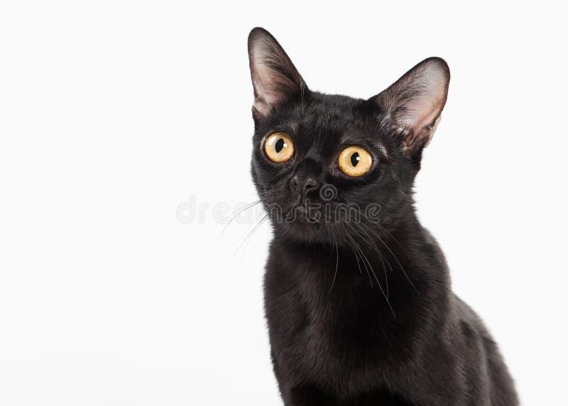 Черный традиционный кот bombay на белизне стоковая фотография