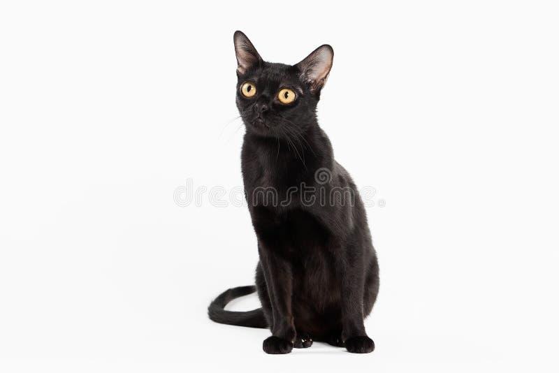 Черный традиционный кот bombay на белой предпосылке стоковые фото