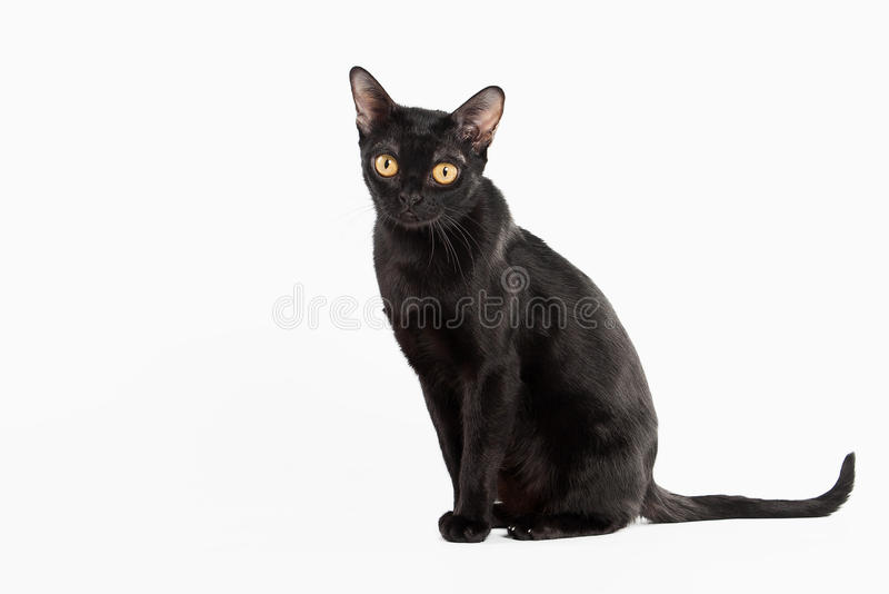 Черный традиционный кот bombay на белой предпосылке стоковая фотография rf
