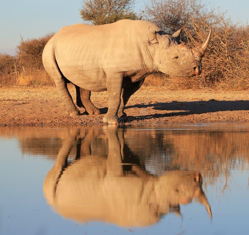 Черный угрожаемый носорог - - отражение вида стоковые изображения rf