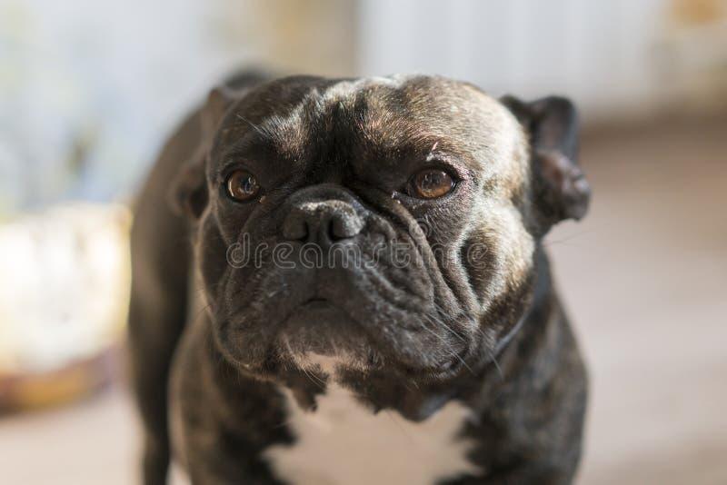 Черный французский бульдог с предпосылкой нерезкости Собака с унылыми глазами Конец-вверх стоковые фото