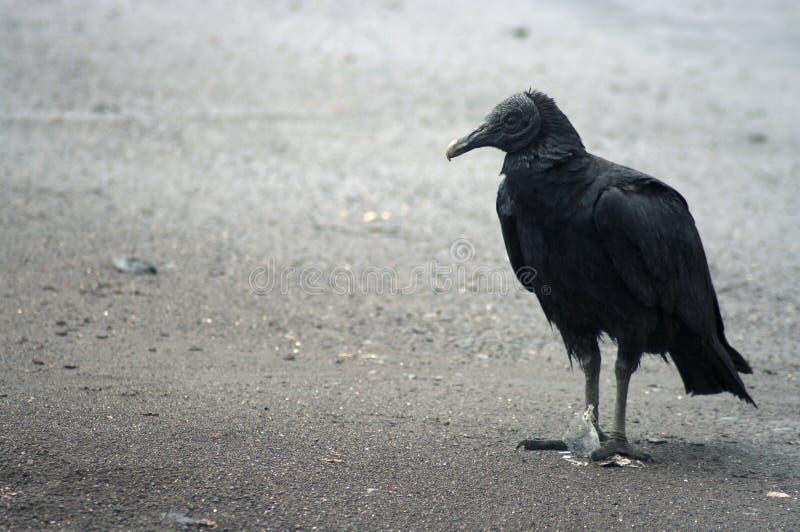 черный хищник стоковые фотографии rf
