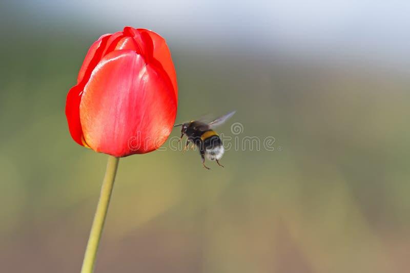 Черный шмель летает до красного тюльпана стоковая фотография