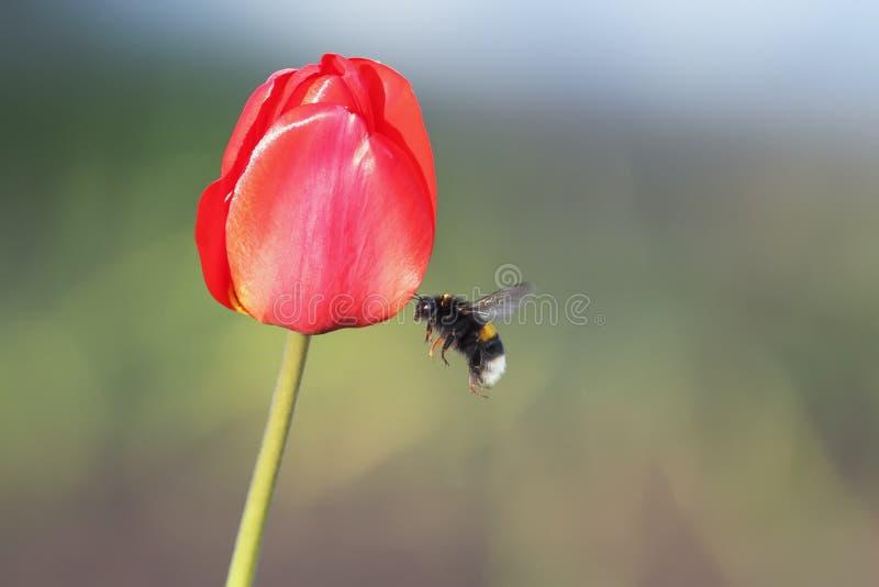 Черный шмель летает до красного тюльпана стоковое фото