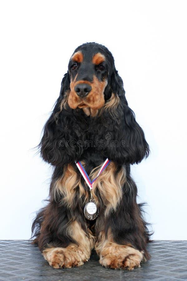 черный щенок английской языка кокерспаниеля стоковое фото rf