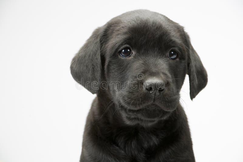Черный щенок лаборатории на белое безшовном стоковые фото