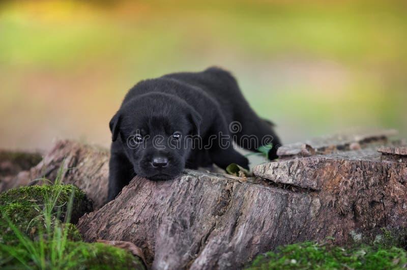 черный щенок лаборатории стоковые фото