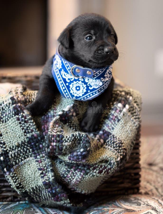 черный щенок лаборатории стоковое фото rf