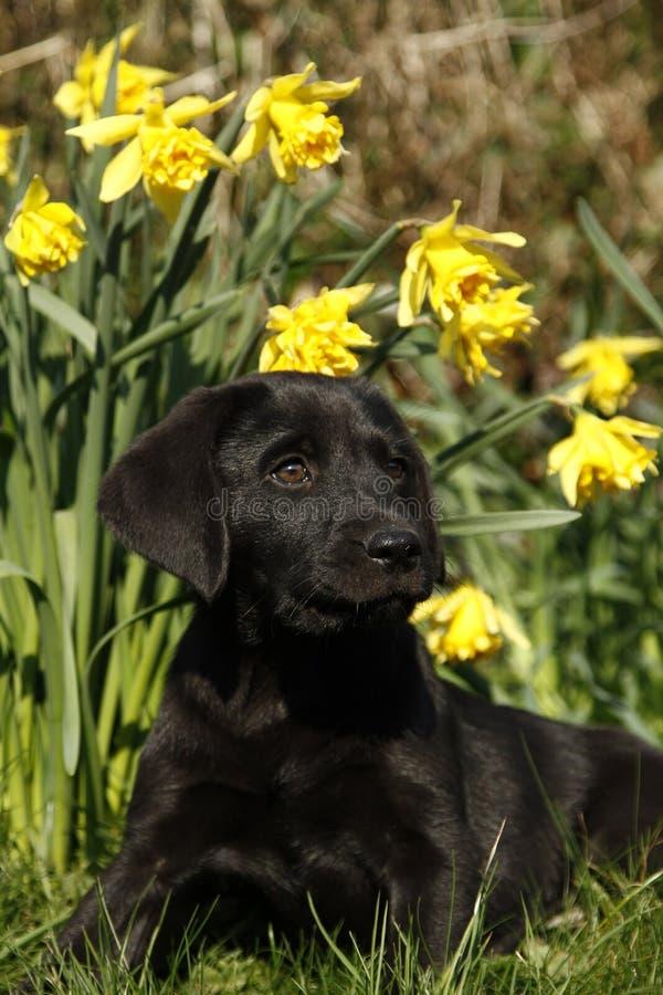 Черный щенок Лабрадора в Daffodils стоковая фотография