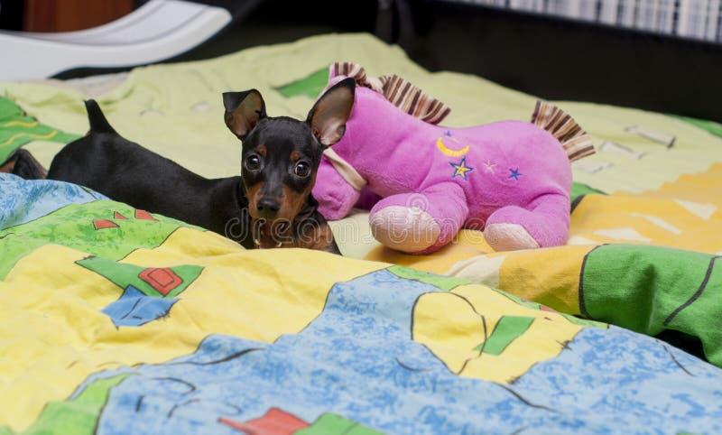 Черный щенок при большие уши играя с розовой игрушкой на кровати на красочном одеяле стоковые фото