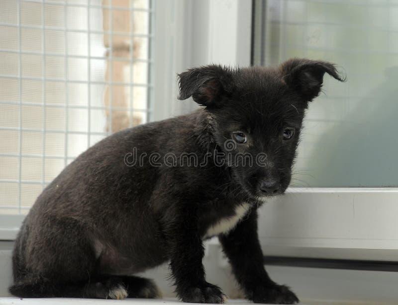 Черный щенок терьера crossbreed стоковые изображения rf