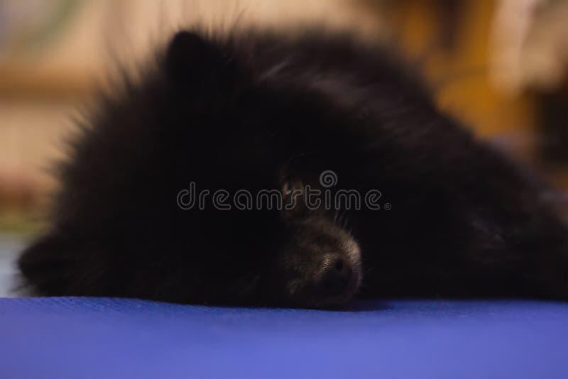 Черный щенок шпица Pomeranian на поле стоковое фото rf
