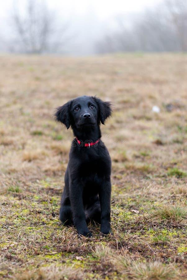 Черный щенок стоковые фотографии rf